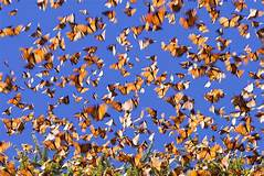 Expemundo Mariposas Canada Mexique papillons butterflies photo