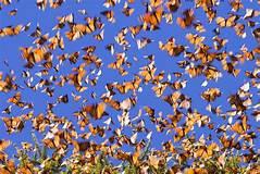Expemundo Mariposas Canada Mexique papillons butterflies photo